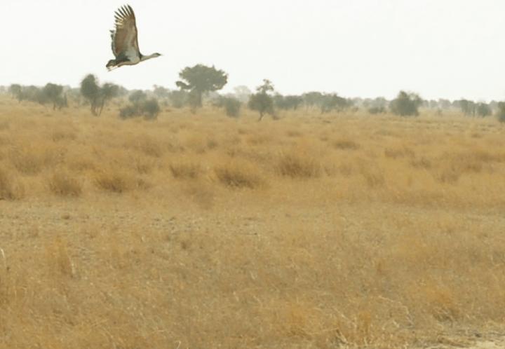 राजस्थान में वन्यजीव संरक्षण | कृत्रिम हैचिंग सेन्टर से गोडावण को बचाने में होंगे कामयाब | राजस्थान का पर्यावरण