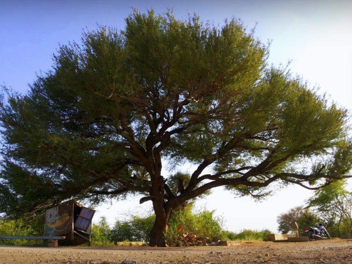 खेजड़ी - राजस्थान का राज्य वृक्ष