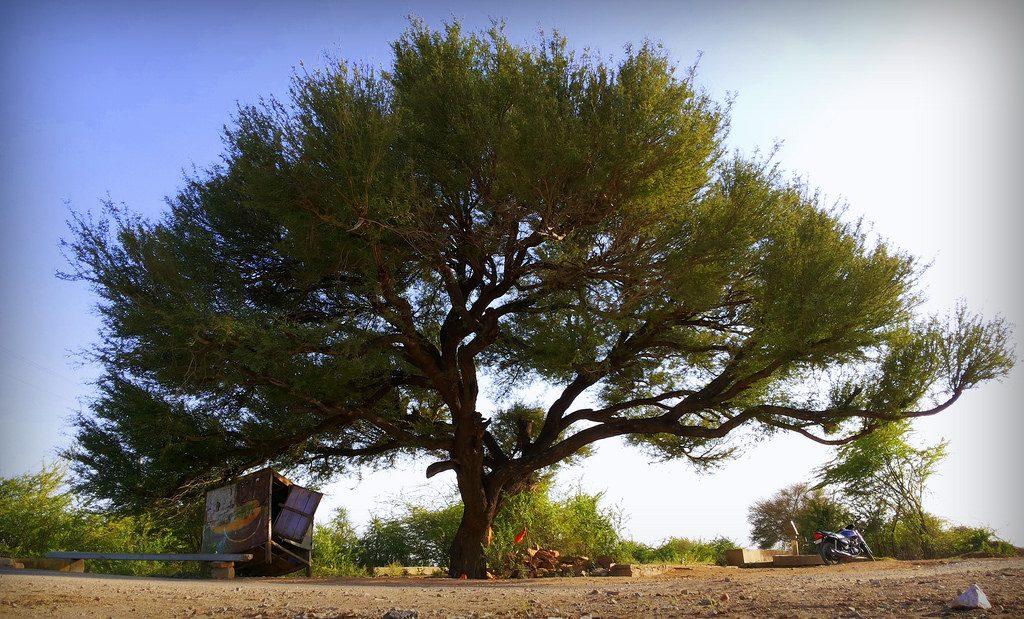 खेजड़ी – राजस्थान का राज्य वृक्ष